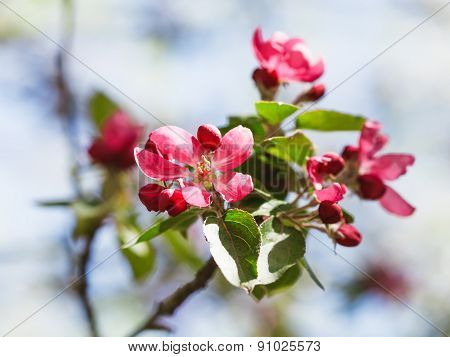 Twig Of Apple Tree With Pink Flowers Close Up