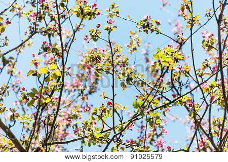 Branches Of Pink Flowering Apple Tree In Spring