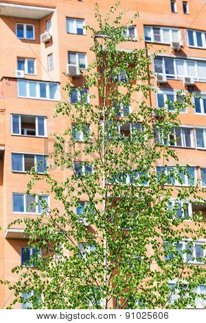 Green Birch Tree And Brick Apartment House