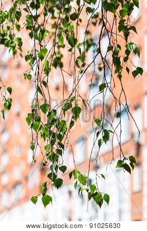 Twig Of Green Birch Tree And Urban House