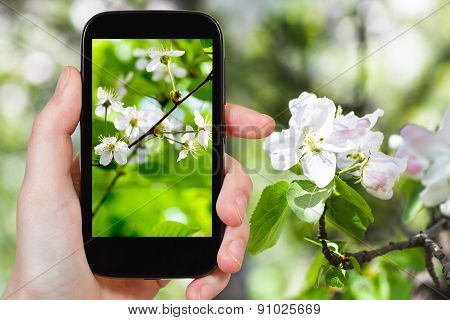 Photo Of Cherry Blossoms In Spring Forest
