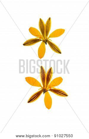 Pressed And Dried Flower Crocus (saffron). Isolated On White Background