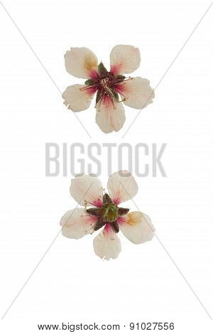 Pressed And Dried Almond Blossom. Isolated On White Background.
