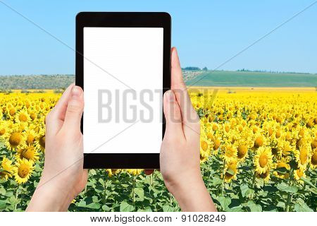 Photo Of Sunflower Fields In Hill Of Caucasus