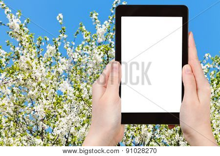 Photo Of White Blossoming Cherry Tree And Blue Sky