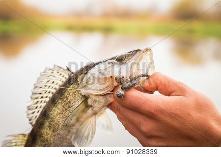 Fisherman holding a freshly caught zander