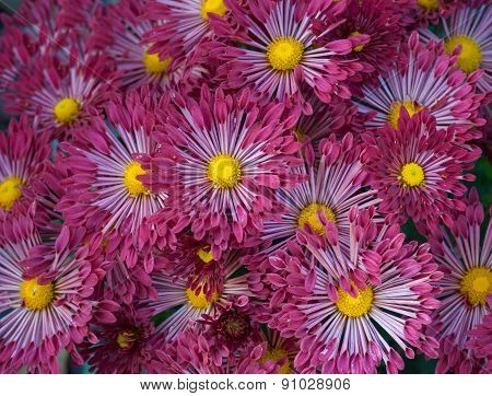Dark-red aster flower-bed