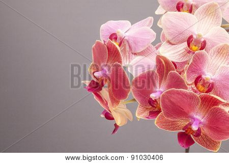 A Pink Orchid Blossom