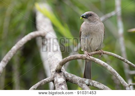 Southern Grey-headed Sparrow (passer Diffusus) With A Caterpillar In Its Mouth