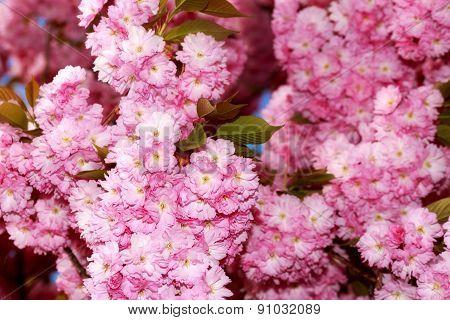 Sakura Flower Blooming, in a sunny spring day