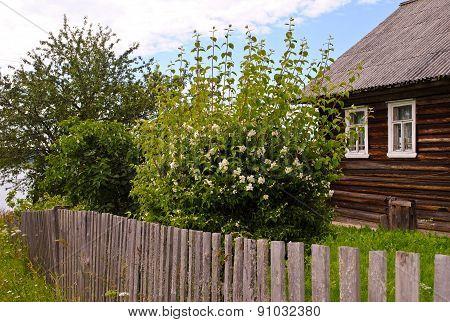 Blooming Jasmine Bush Near Unpainted Wooden House