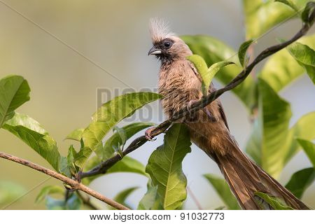 Speckled Mousebird (colius Striatus) Perched On A Twisted Vine