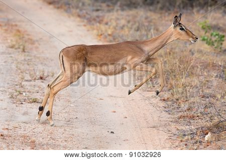 Female Impala Doe Running And Jumping Away From Danger