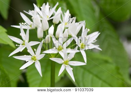 wild garlic leek
