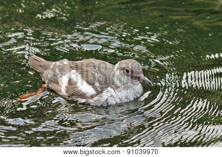 Pigeon Guillemot Cepphus coumba
