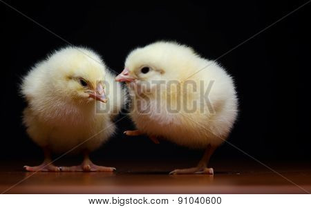 Two cute chicks