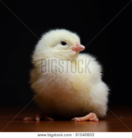 Cute baby chicken