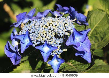 Hydrangea,Big-leaf Hydrangea,Laurustinus