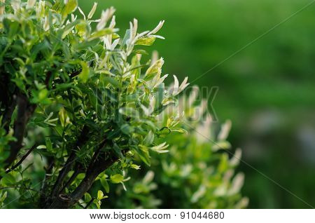 Flowering Bush In Decorative Garden In Spring