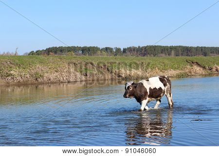 Cow Goes In The River