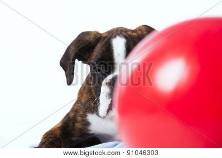 Boxer looking behind a ball