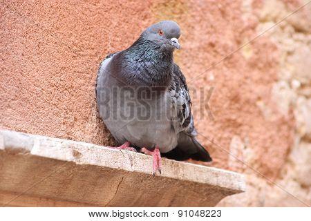 Beautiful Feral Pigeon In Venice, Italia