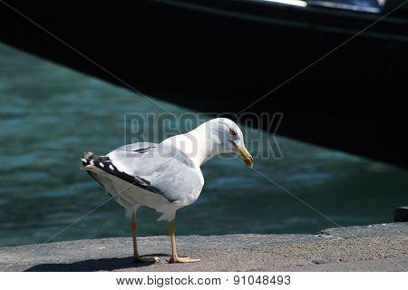 Curious Seagul
