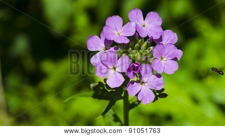 Purple Dames Rocket Wildflowers. Purple Blooms.
