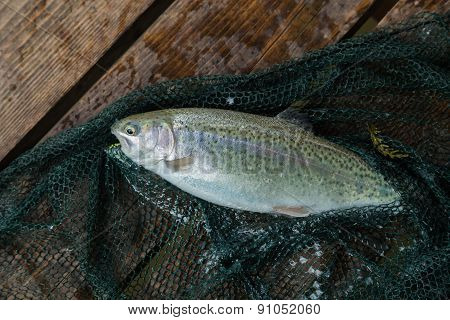Trout. Freshly caught trout on a wooden background.