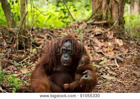 Wild mother and baby orangutan