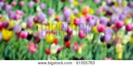 Blur tulips field