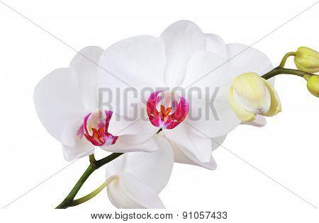 White orchid flower, DOF