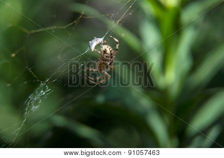 Little Spider Waiting For Dinner