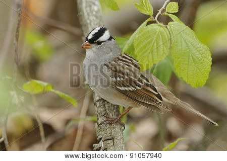 White-crowned Sparrow Perched On A Branch In Spring