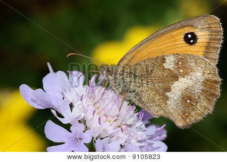 Gatekeeper Butterfly oa a Purple Flower
