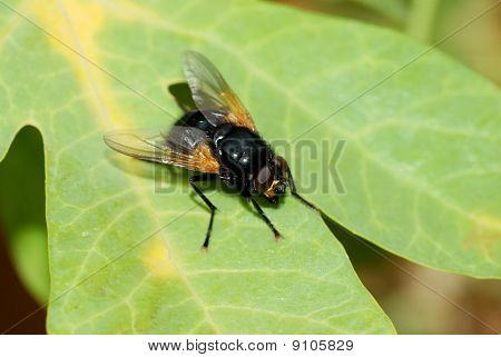 Black Fly On A Leaf