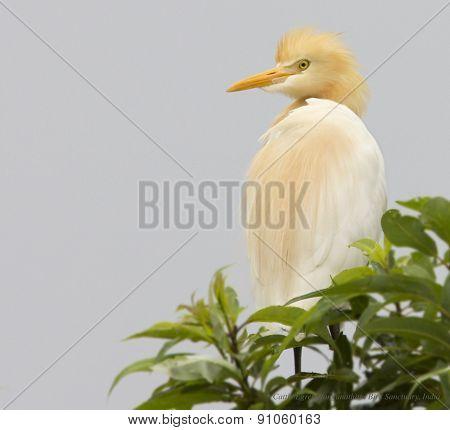 Bird - Cattle Egret