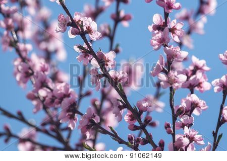 pink peach flowers on spring time