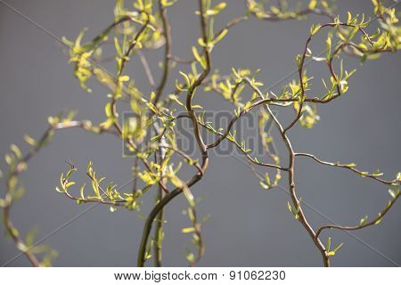 new leaves on willow twig