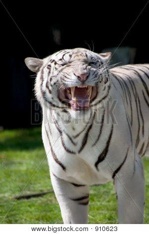 Weißer Tiger zeigt seine Zähne