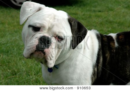 Bulldog 8