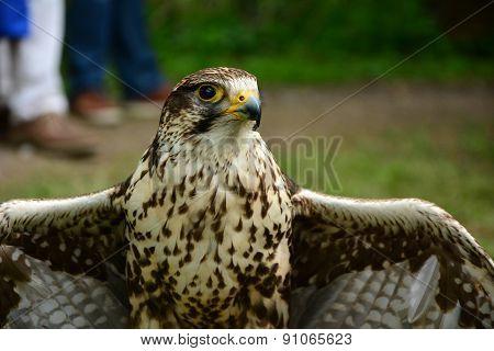 One Falcon