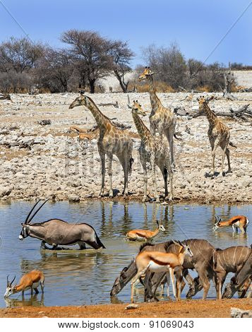 Many different species of animals surround a waterhole in Etosha National Park