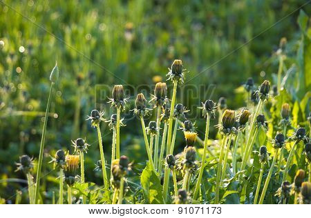Dandelions in the sun at dawn