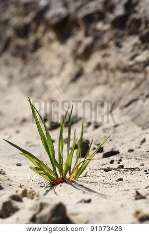 Green Grass Breaks Through The Sand