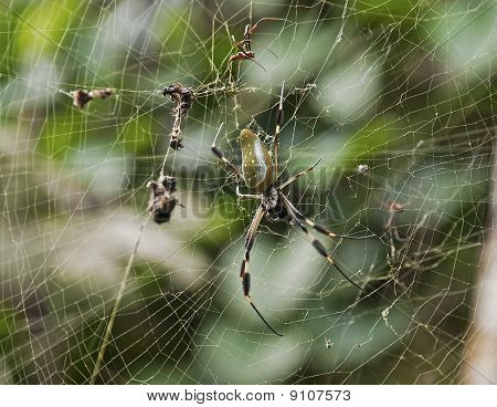 Golden Orb Weaver Spider In Its Web