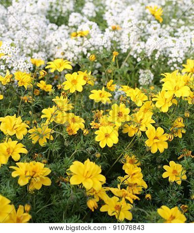 Field Of Yellow Flowers Called Bidens In Spring