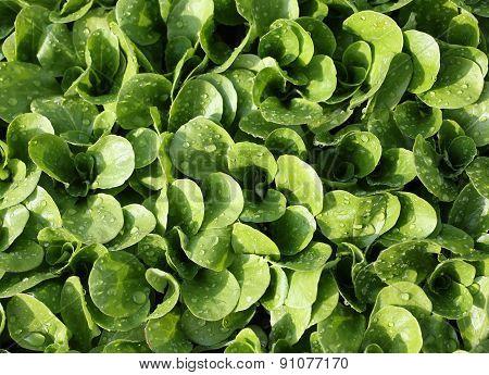 Green Fresh  Salad In The Garden