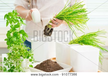 Young Woman Is Planting Herbs