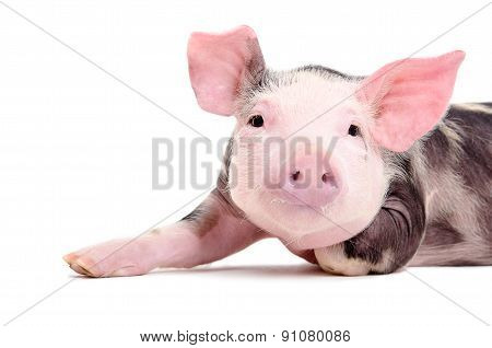 Portrait of the charming little pig